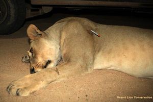 Ugab female Lion darted
