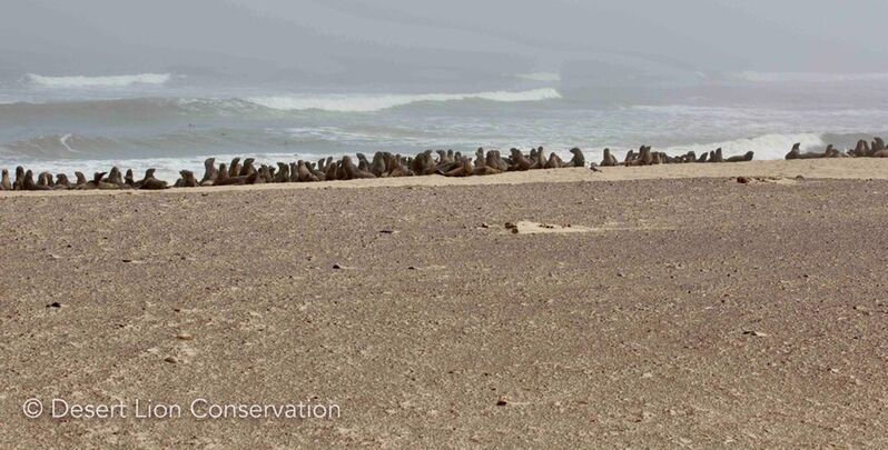 Cape fur seals at Koigab colony