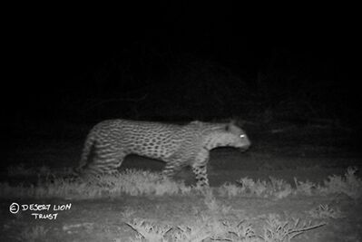 Camera-trap images of leopard