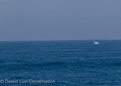 Humback whale breaching along the Skeleton Coast