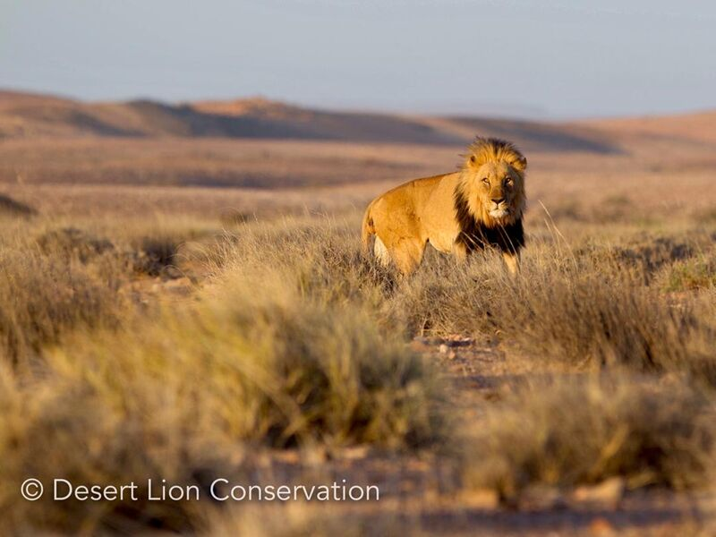 Adult male lion resting in a drainage line during thew day