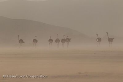 A flock of ostriches bracing gusts of wind during a early-morning sandstorm