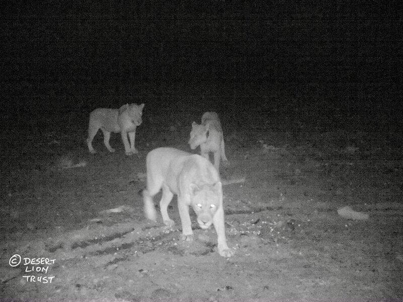 Three pride lionesses aged 15, 10 and 8 years respectively