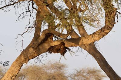 Rare sighting of an African harrier-hawk (Gymnogene)