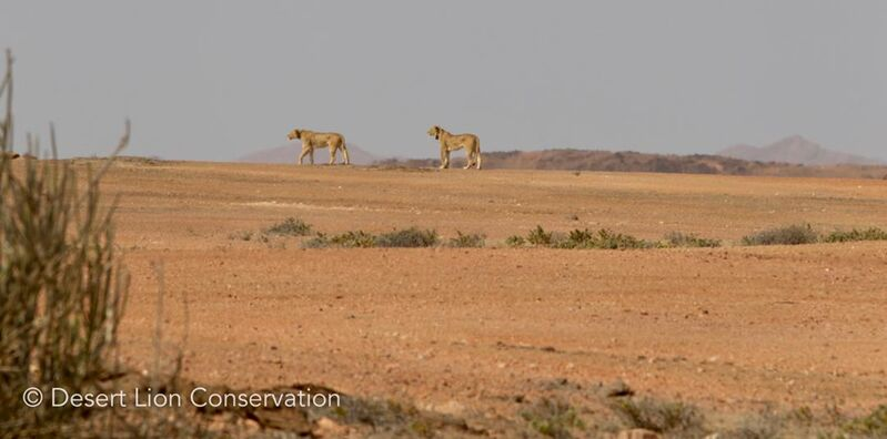 Desert Lionesses search for prey on the vast gravel plains