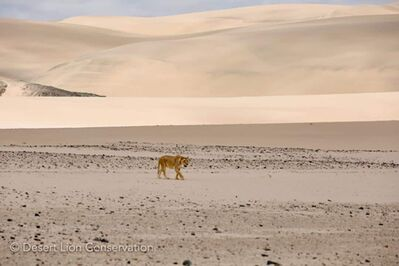 Orphan lionesses moving westwards towards the mouth of the Hoaruseb river Purros HLC Desert Lion Conservation Namibia
