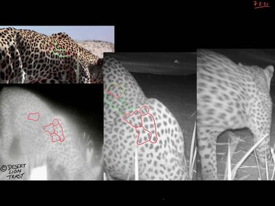 Comparisons of the spot patterns of a male leopard at the Uniab Delta during 2020