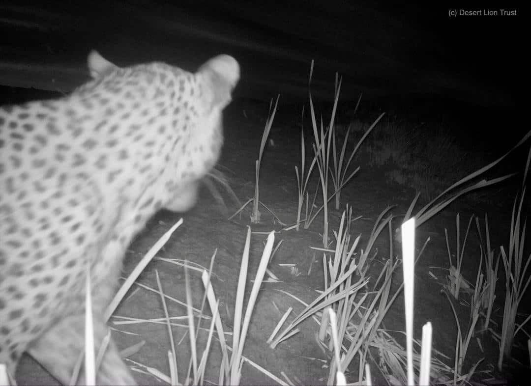 Male leopard at the Uniab Delta on 21 Dec 2020