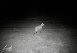 On the Hoanib Floodplain two camera-traps recorded movements of elephants that followed the flood waters, a Floodplain lioness and an African wildcat.