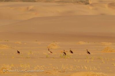 Egyptian geese attracted to green grass in the dunes